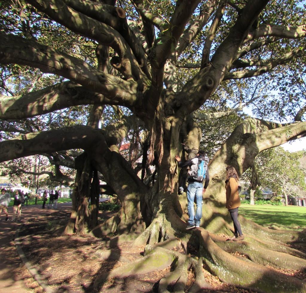 Grand arbre curieux - visite d'Auckland