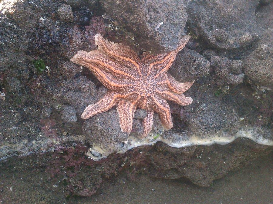 Étoile de mer, plage de Piha