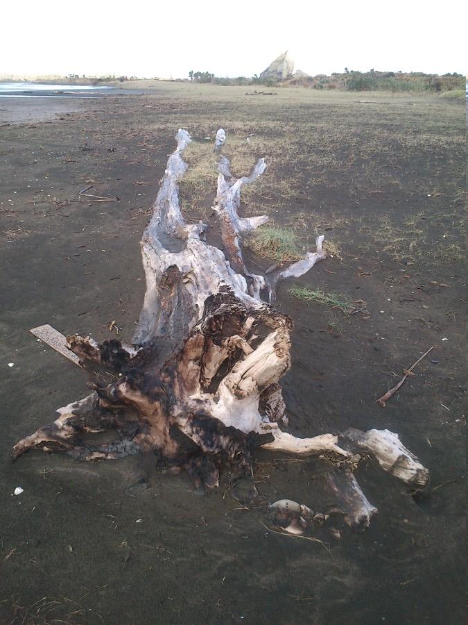 Bois flotté a demi enseveli - plage de Whatipu